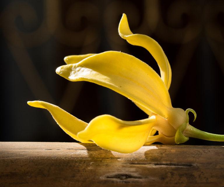 ylang ylang huile essentielle bienfaits et propriétés