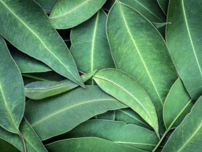 huile essentielle d' eucalyptus radiata
