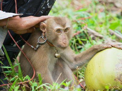 Noix de coco : le scandale des singes cueilleurs