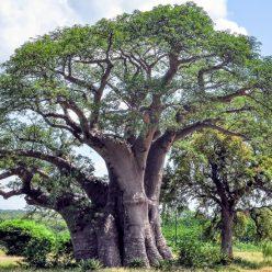 L'huile végétale de baobab : quels sont ses bienfaits ?