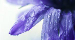 Eau de Bleuet : tous ses bienfaits cosmétiques