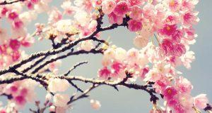Fleur de cerisier : ses bienfaits pour les soins du corps